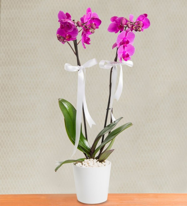 Nobility Purple 2 Branch Orchid-1