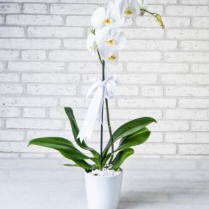 Phalaenopsis Orchid Flower-1