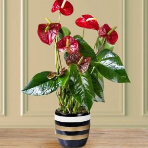 Anthurium Plant in Vase